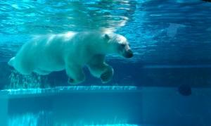 Lincoln_Park_Zoo_polar_bear